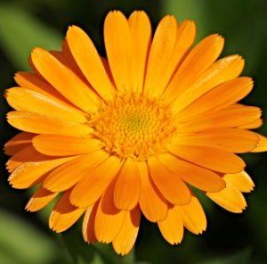 Do serów Jersey w Dębnik 52 dodajemy kwiaty nagietka
